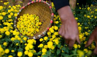 Dùng trà hoa cúc theo cách này, giúp da mịn màng, sức khỏe dẻo dai
