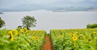 Bí kíp 'bỏ túi' khi đến cánh đồng hoa hướng dương lớn nhất Việt Nam tại Nghệ An