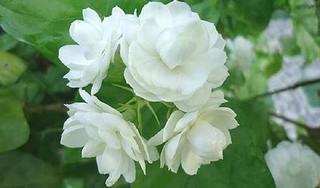Vì sao hoa nhài giúp giảm nguy cơ mắc ung thư?