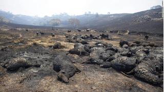 Nhói lòng nhìn nước Úc chìm trong đại thảm họa cháy rừng, nửa tỉ động vật đã chết