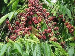 Giá cà phê hôm nay 7/1: Giảm mạnh so với ngày đầu tuần
