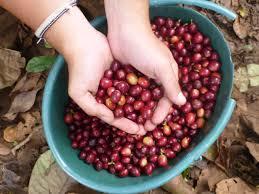 Giá cà phê hôm nay 8/1/2020: Tăng nhẹ 200 đồng/kg