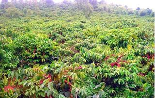 Giá cà phê hôm nay 10/1/2020: Đảo chiều giảm 100 đồng/kg