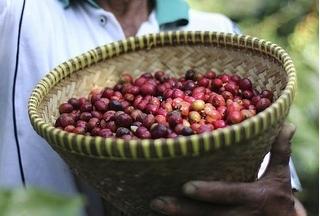 Giá cà phê hôm nay 13/1/2020: Tăng nhẹ 200đ/kg