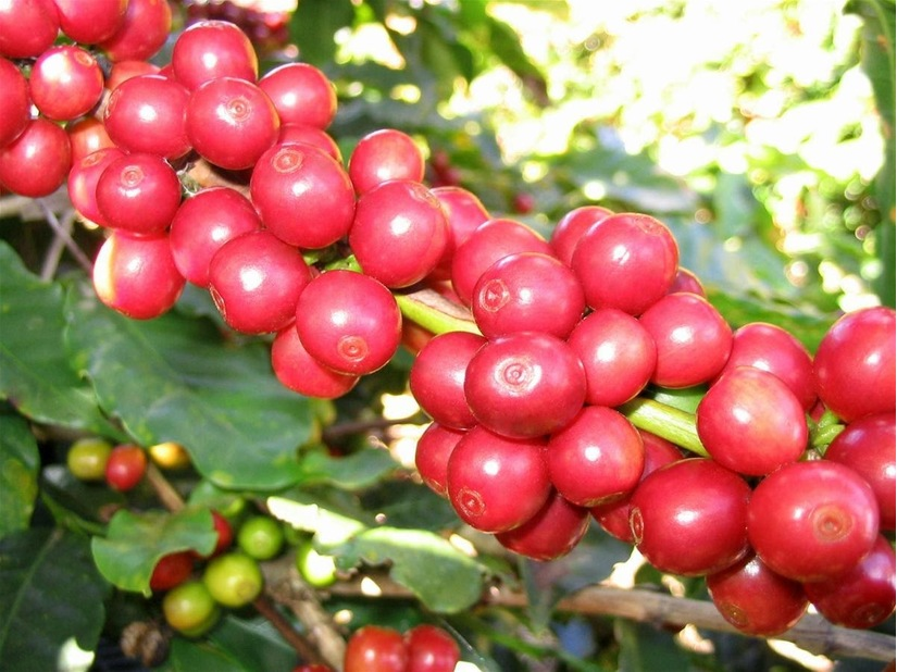 Giá cà phê hôm nay 16/1: Tăng 100 đồng/kg sau đà giảm mạnh