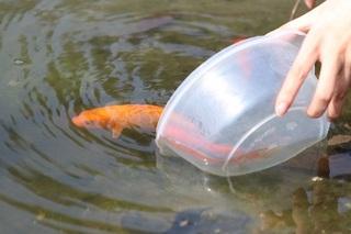 Tại sao lại chọn cá chép để cúng ông Công ông Táo?