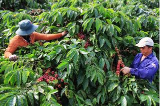 Giá cà phê hôm nay 18/1/2020 Tăng giảm nhẹ ở một vài địa phương