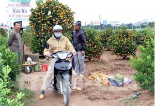 Nam Định: Quất cảnh đón Tết đắt hàng, giá cao hơn hẳn mọi năm