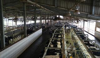 Ngày cuối năm thong thả, bình yên ở trang trại bò sữa TH true MILK