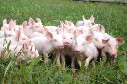 Giá heo hơi hôm nay 21/1: Giá thịt giảm những ngày cận tết