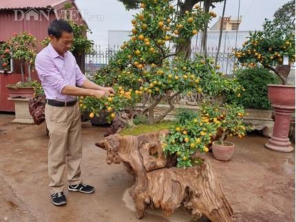 Nam Định: Quất ngự gỗ lũa độc, lạ chơi Tết giá hơn 1 ngàn đô/cây