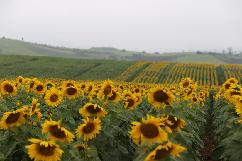 Du xuân, đừng bỏ lỡ cánh đồng 'hoa mặt trời' hàng trăm hec-ta lớn nhất Việt Nam!