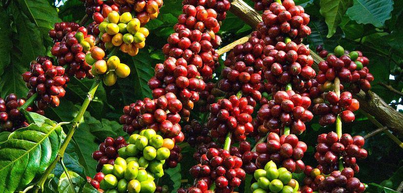 Giá cà phê hôm nay 24/1: Phục hồi tăng nhẹ phiên cuối tuần