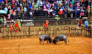 Lễ hội chọi trâu Phù Ninh bị hoãn vì dịch corona