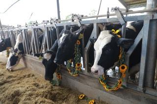 Bò sữa Mỹ có ưu điểm gì khiến TH true MILK nhập khẩu hàng nghìn con?