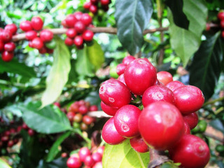 Giá cà phê hôm nay 23/1/2021: Đắk Nông xu hướng tặng nhẹ