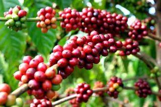 Giá cà phê hôm nay 8/1/2021: Liên tiếp sụt giảm