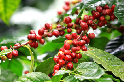 Giá cà phê hôm nay 30/11/2020: Đắk Lắk có giá tốt nhất khu vực