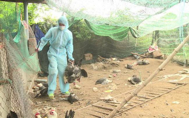 Thanh Hóa bùng phát dịch cúm A/H5N6, tiêu hủy 23.000 gia cầm