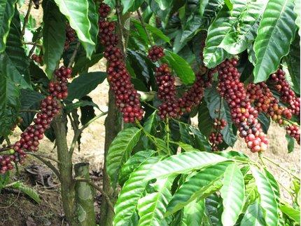 Giá cà phê hôm nay 28/11/2020: Khu vực Tây Nguyên giảm nhẹ