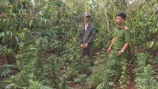 Người đàn ông trồng hàng nghìn cây cần sa trên rẫy cà phê