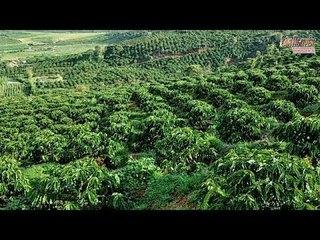 Giá cà phê hôm nay 25/10/2020: Khu vực Tây Nguyên tăng 500 đồng/kg
