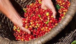 Giá cà phê hôm nay 25/2/2020: Bất ngờ quay đầu giảm mạnh