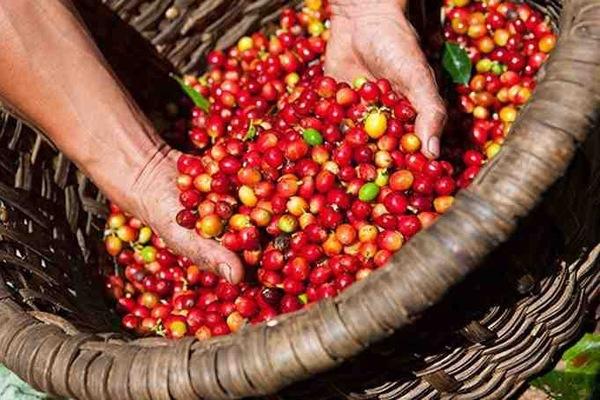 Giá cà phê Gia Lai hôm nay ở mức 31.400 đồng/kg.