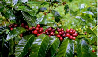 Giá cà phê hôm nay 4/3: Tại Tây Nguyên dao động từ 31.300 – 31.700 đồng/kg