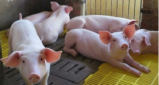 Giá heo hơi ngày 8/3: Tăng giá thịt lợn một cách chóng mặt
