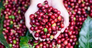 Giá cà phê hôm nay 9/3: Đầu tuần nằm im chờ tăng trở lại