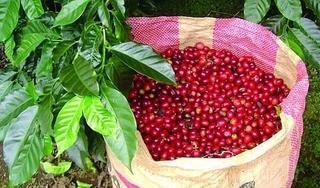 Giá cà phê hôm nay 11/3: Tăng nhẹ trở lại