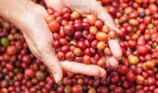 Giá cà phê hôm nay 13/3: Dao động trong khoảng 30.800 – 31.200 đồng/kg