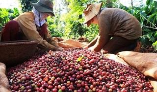 Giá cà phê hôm nay ngày 16/3: Liên tiếp giảm từ 100 - 200 đ/kg