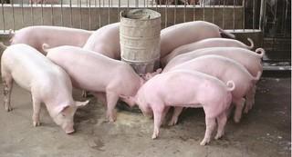 Giá heo hơi hôm nay, giá lợn hơi mới nhất 17/3: Đồng loạt giảm sâu 8.000 đồng/kg