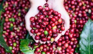 Giá cà phê hôm nay ngày 18/3: Tiếp tục đà giảm nhẹ