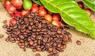 Giá cà phê hôm nay ngày 20/3: Dao động ở trong ngưỡng 30.000 đ/kg