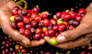 Giá cà phê hôm nay ngày 23/3: Tây Nguyên, miền Nam tăng trở lại.