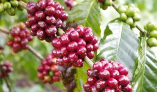 Giá cà phê hôm nay ngày 31/3: Không có nhiều biến động