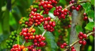 Giá cà phê hôm nay ngày 4/4: Giảm sau một ngày vọt tăng