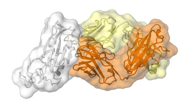 Tìm ra điểm yếu của virus SARS-CoV-2