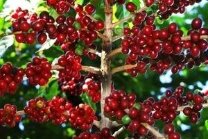 Giá cà phê hôm nay 7/4: Tăng nhẹ ở một số địa phương