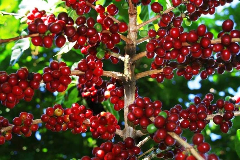 Giá cà phê hôm nay 7/4, tăng nhẹ ở một số đia phương