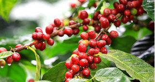 Giá cà phê hôm nay ngày 9/4: Việt Nam đi ngang, thế giới giảm nhẹ