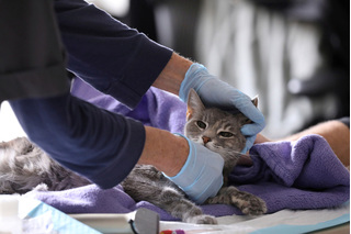 Cảnh báo nguy cơ nhiễm Covid-19 từ mèo cưng