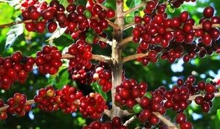 Giá cà phê hôm nay 12/4: Giảm sâu cả trong nước và thế giới