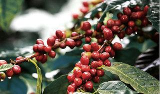 Giá cà phê hôm nay ngày 13/4: Trong nước đi ngang, thế giới tiếp tục giảm