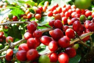 Giá cà phê hôm nay ngày 14/4: Trong nước và thế giới đi ngang