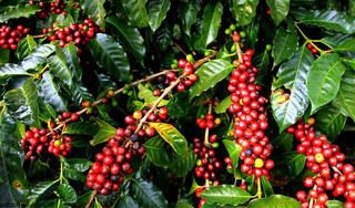 Giá cà phê hôm nay ngày 16/4: Trong nước giảm nhẹ, thế giới tăng vọt