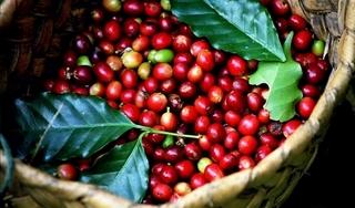Giá cà phê hôm nay ngày 17/4: Trong nước khởi sắc, thế giới giảm nhẹ